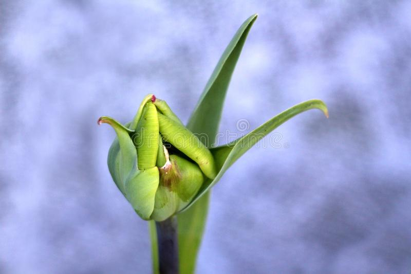 Fully closed young light green tulip flower surrounded with pointy elongated leaves. On warm spring day royalty free stock photography