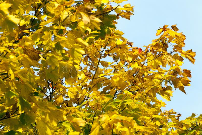yellow leaves maple stock photos