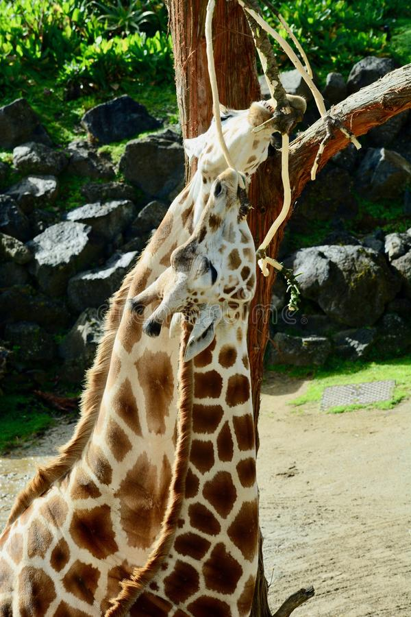 Giraffe Giraffa camelopardalis is an African even-toed ungulate mammal, the tallest living terrestrial animal. Fully grown giraffes stand 4.3 royalty free stock images