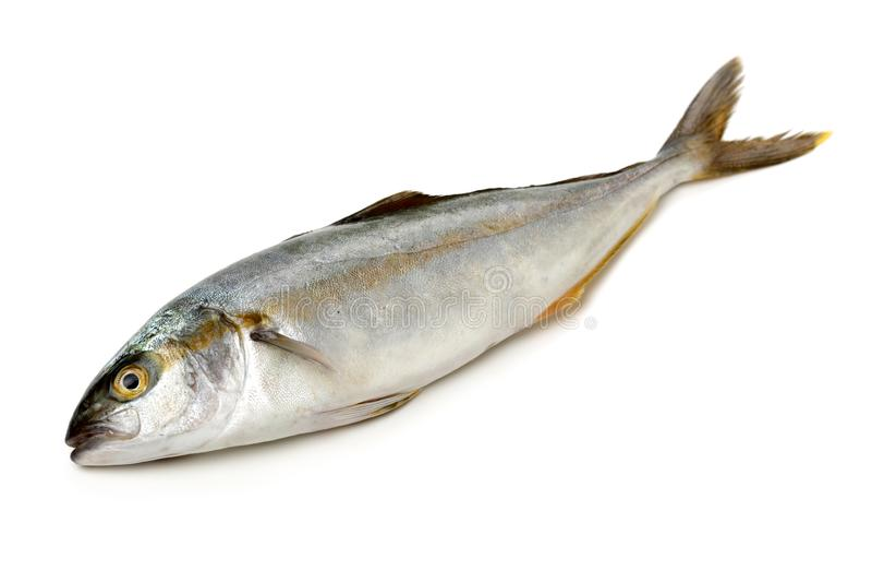 Fully grown matured mackerel found. On white background stock photo