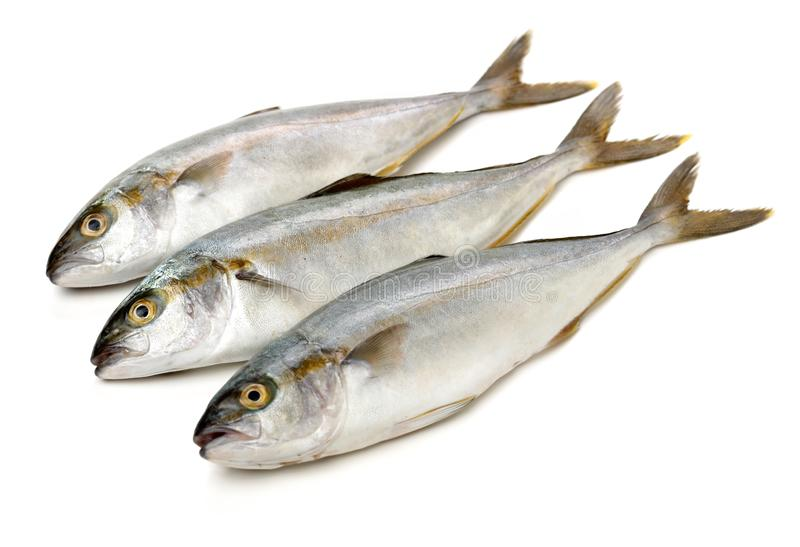 Fully grown matured mackerel found in large schools in the oceans. On white background stock images