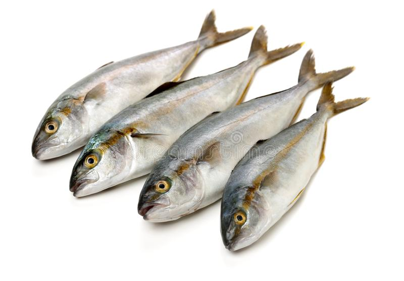 Fully grown matured mackerel found in large schools in the oceans. Isolated on white background royalty free stock image