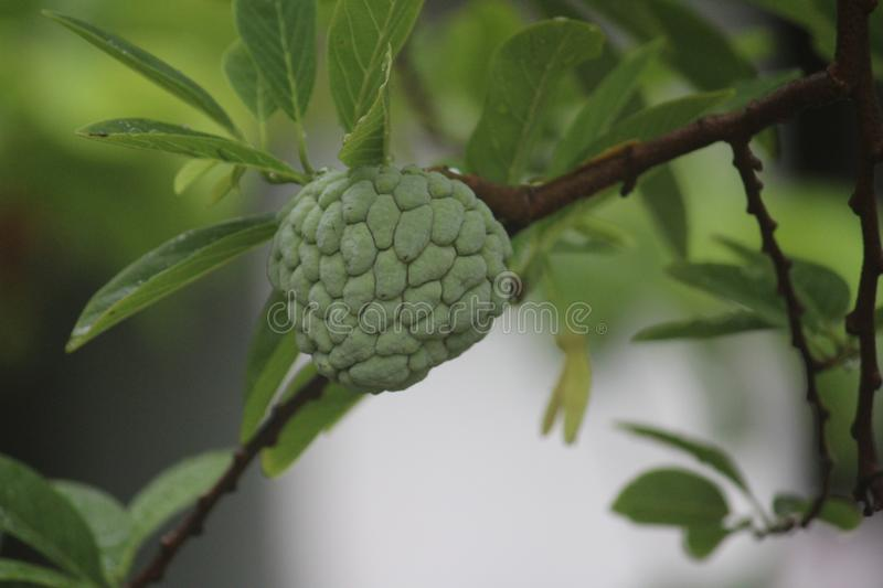 A fully grown up sugar apple. Hanging in a tree stock photography