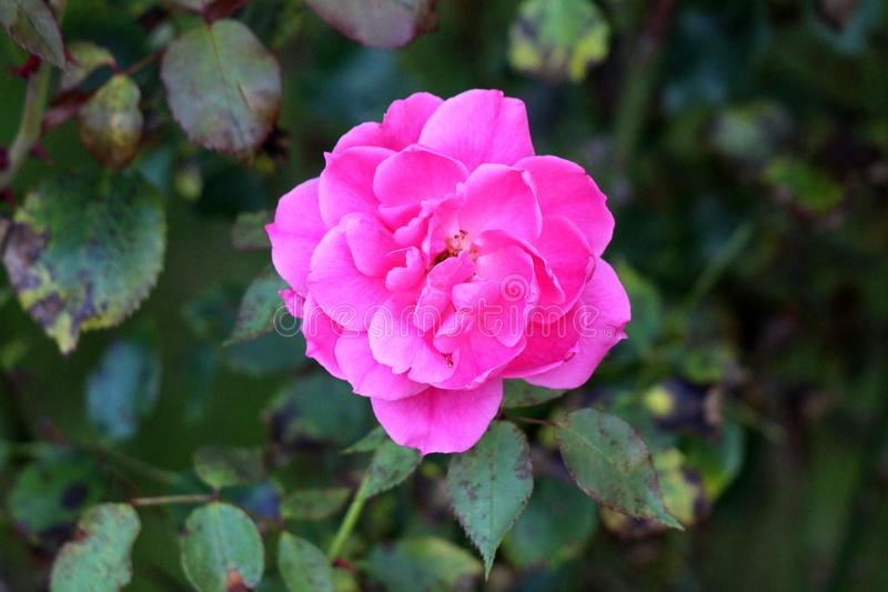 Fully open blooming dark pink rose with layered petals surrounded with dark green leaves planted in local urban garden stock images