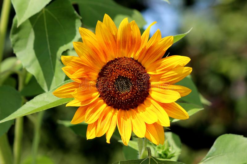 Fully open blooming sunflower plant with bright yellow with red petals and dark center surrounded with dense leaves in local urban stock photography
