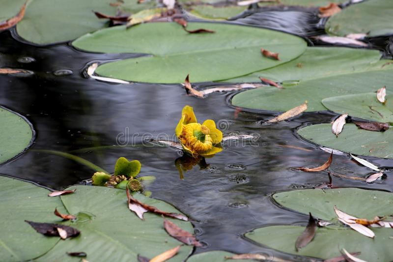Fully open and blooming yellow flower of Water lily or Nymphaea aquatic rhizomatous perennial herb plant surrounded with green stock images
