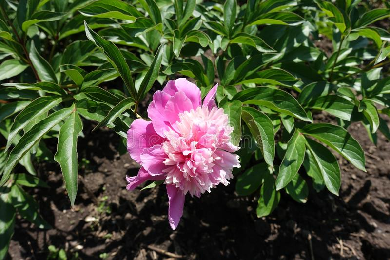 Fully opened pink flower of peony in spring royalty free stock photo