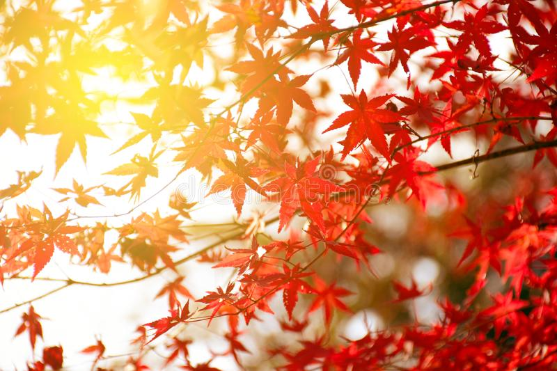 Fully red Maple leaves in Autumn stock photos