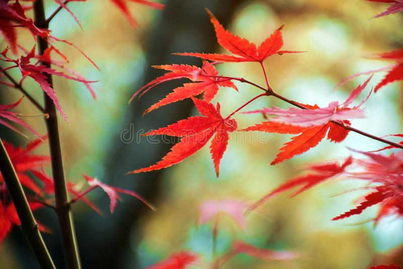 Fully red Maple leaves in Autumn stock photography