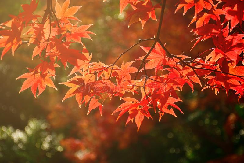 Fully red Maple leaves in Autumn royalty free stock photo