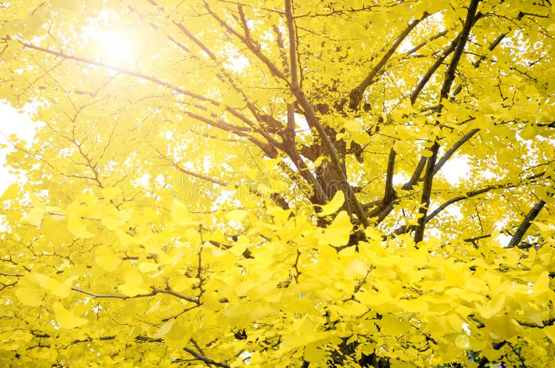 Fully yellow of Ginkgo autumn leaves. stock photography