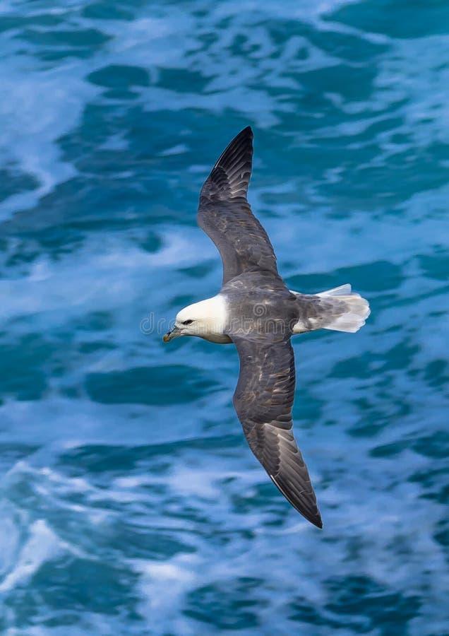 Fulmar arctique avec les mouches répandues d'ailes au-dessus de l'eau atlantique sauvage en Ecosse photographie stock libre de droits