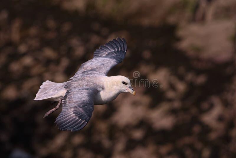 Download Fulmar Du Nord En Vol Au-dessus Des Falaises 2 D'île De Skokholm Photo stock - Image du wales, île: 56485580