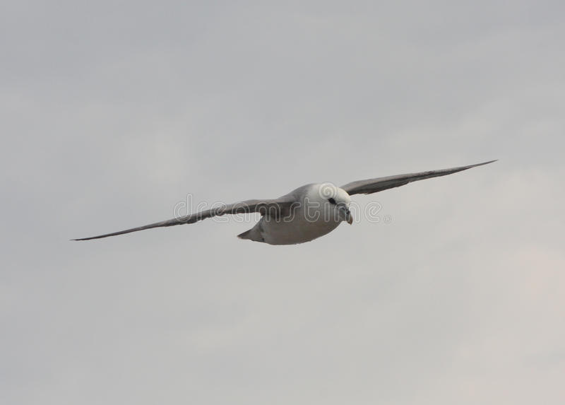 Download Fulmar stock photo. Image of soaring, gliding, flying - 31687660