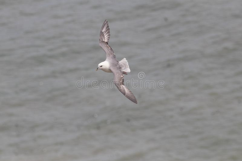 A Fulmar flying over Bempton Cliffs on the Yorkshire coast in the UK. A Fulmar flying over the sea at Bempton Cliffs RSPB reserve on the Yorkshire coast in the royalty free stock image