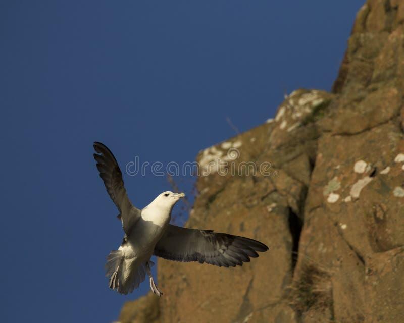 Fulmar septentrional en vuelo por el borde del acantilado en Aberdour, Fife Scotla imagen de archivo libre de regalías