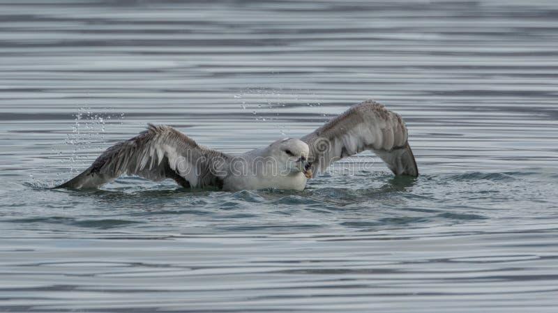 Fulmar septentrional que toma un baño en Scoresby Sund, Groenlandia del este foto de archivo