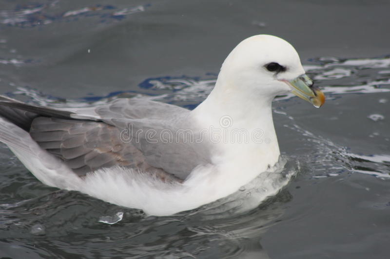 Download Fulmarus Glacialis - Northern Fulmar Stock Image - Image: 31330761
