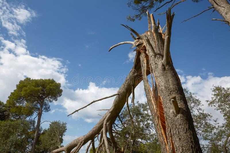 Fulminez les dommages et l'arbre cassé dans la forêt photo stock