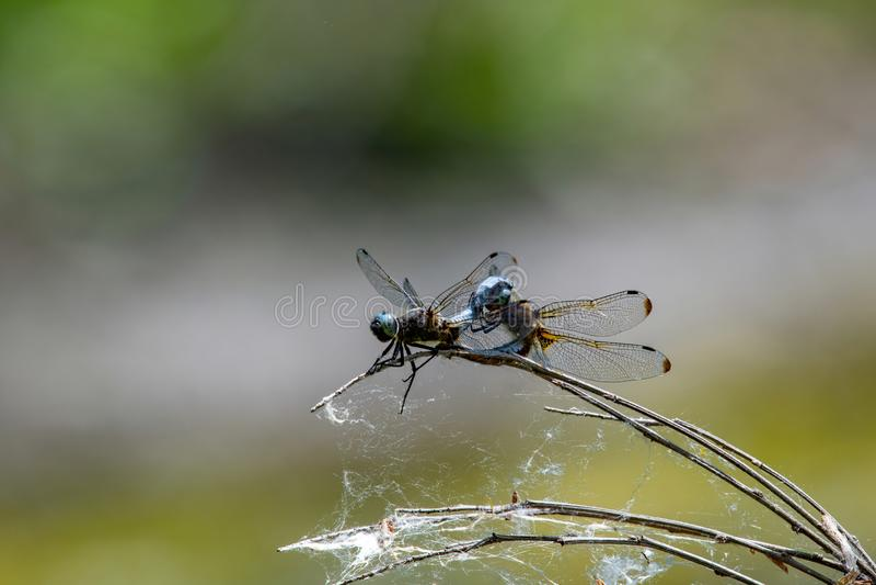 Fulva de Libellula - chasseur rare repos Azur-bleu de libellule photos libres de droits