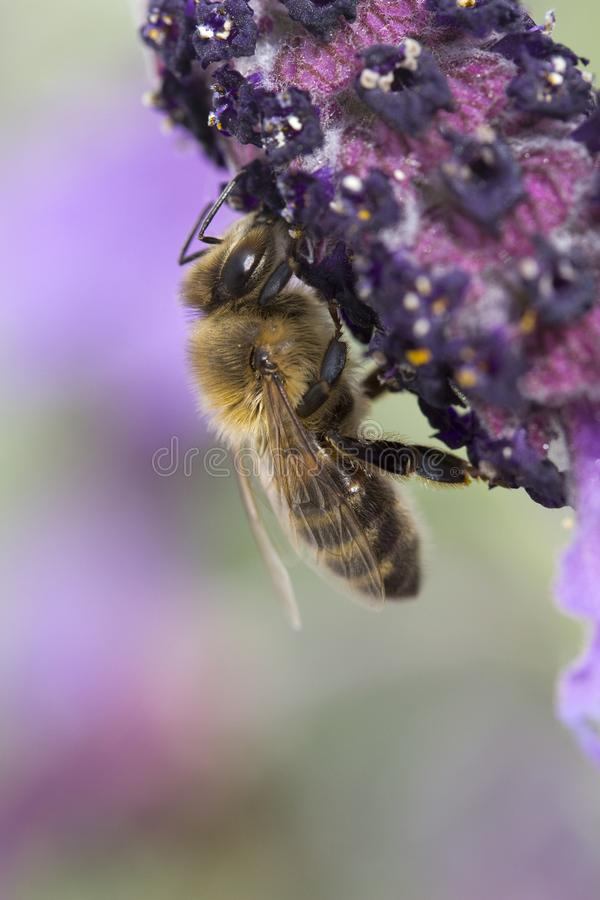 Fulva de Tawny Mining Bee Andrena en la lavanda del Lavandula fotos de archivo