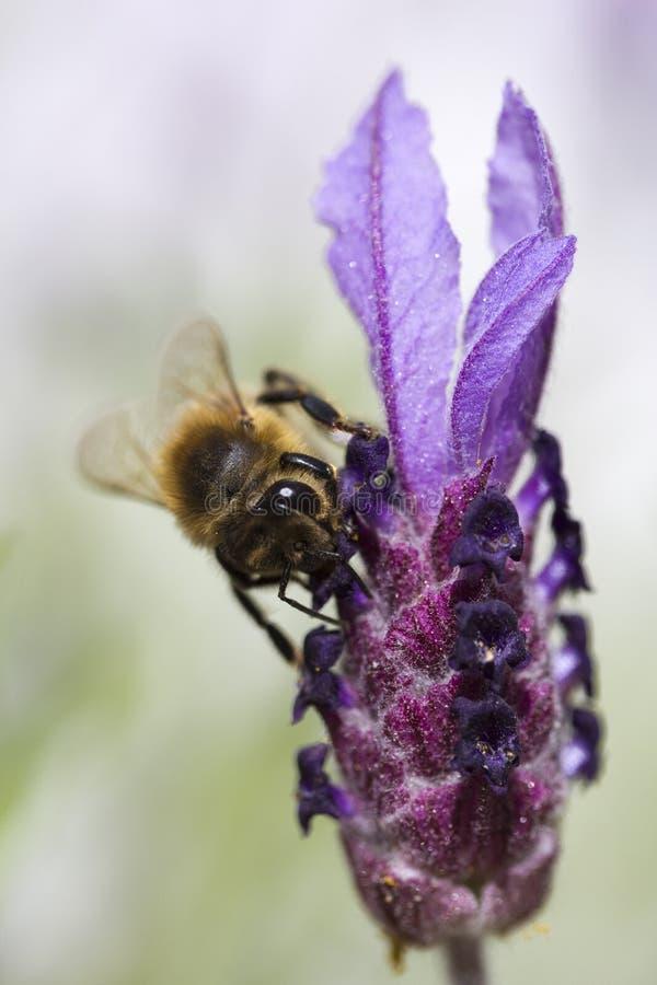 Fulva de Tawny Mining Bee Andrena en stoecha de la lavanda del Lavandula fotos de archivo libres de regalías