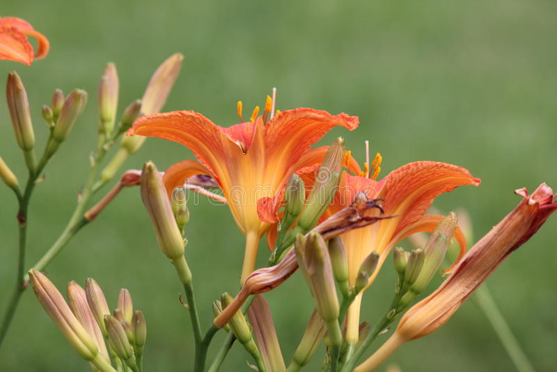Fulva Hemerocallis-alaranjado do Hemerocallis imagens de stock royalty free