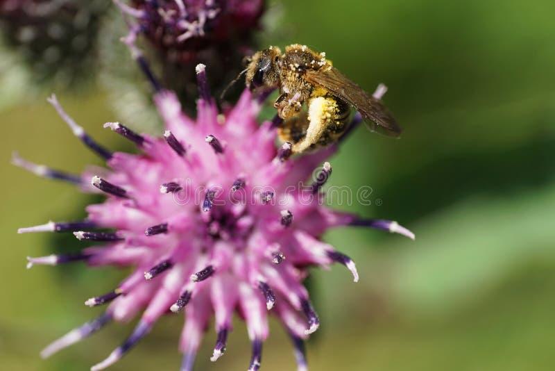 Fulvipes salvajes caucásicos lanudos marrones claros de Macropis de la abeja del primer fotografía de archivo