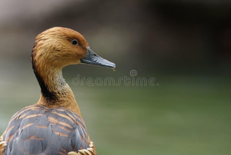 Fulvous свистя портрет утки стоковое изображение rf