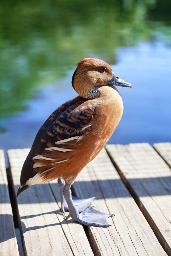 Fulvous färg för Dendrocygna bicolor vissla and på ljust blått vatten av sjön, gröna träd och träbakgrundsslutet upp royaltyfria bilder