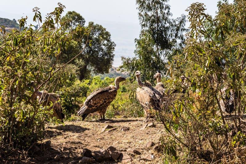 Fulvus de Griffon Vulture Gyps em Eti?pia perto de Gondar foto de stock royalty free