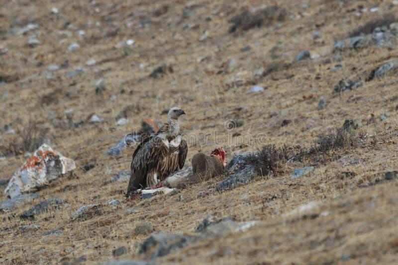 Fulvus de Griffon Vulture Gyps que alimenta en una res muerta de las ovejas azules Pseudois Nayaur en Sichuan, China imágenes de archivo libres de regalías