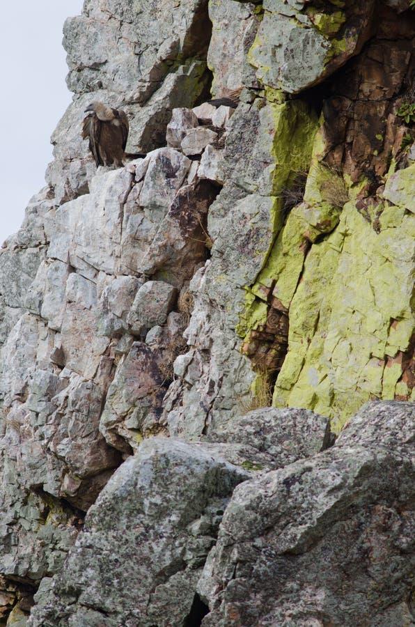 Fulvus dei Gyps dell'avvoltoio appollaiato su una scogliera fotografia stock