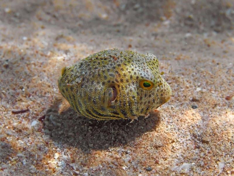 Fumador radiado juvenil y x28; Stellatus& x29 de Arothron; natación de los pescados en t fotos de archivo