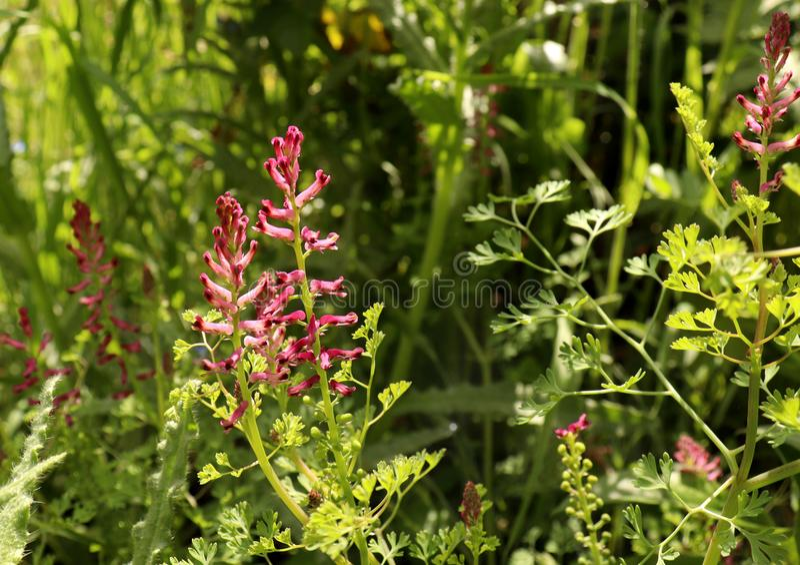 Fumariaofficinalis, den gemensamma fumitoryen, drogfumitory eller jordrök, är en örtartad årlig blomma växt l?ka royaltyfri fotografi