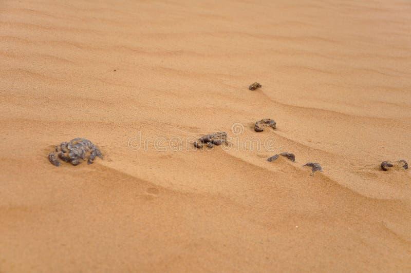 Fumier de chameau dans le désert images libres de droits