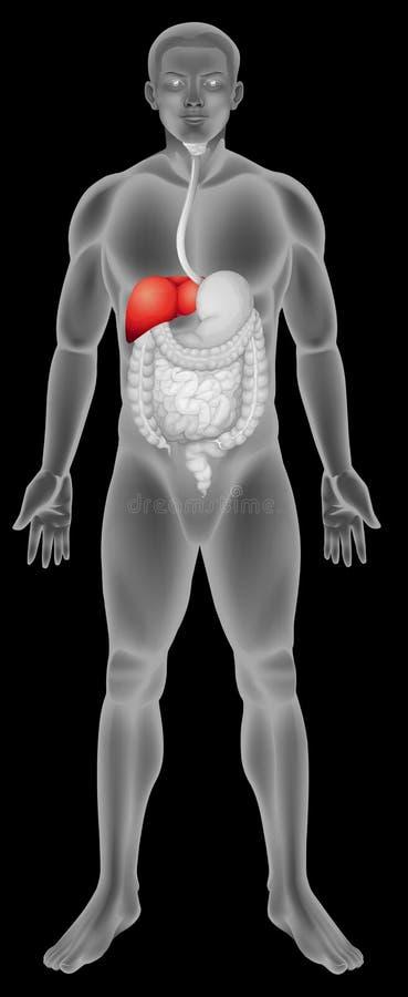 A função de fígado no sistema digestivo ilustração royalty free