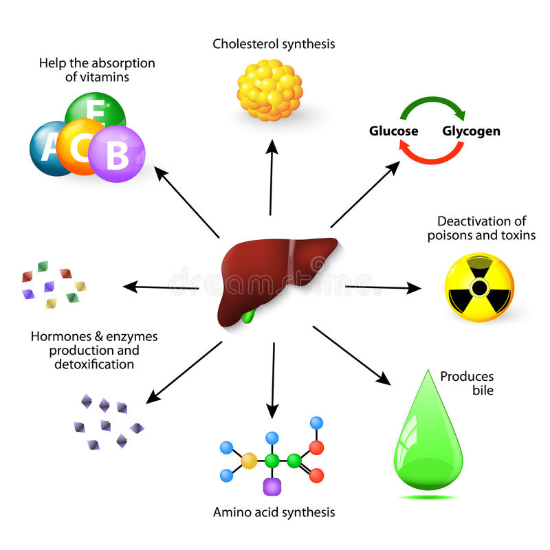 Funções de fígado ilustração do vetor