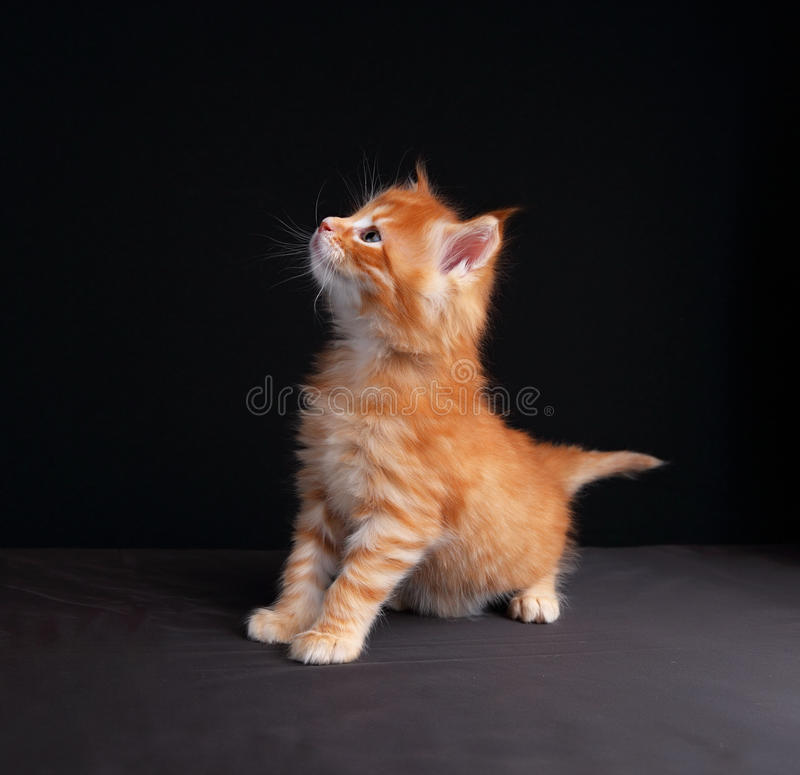 Fun cute red solid maine coon kitten standing with beautiful brushes on the ears on black background and looking curious. royalty free stock photos