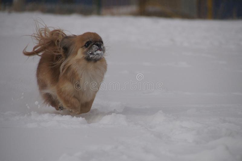 Dog running in the snow. stock photo