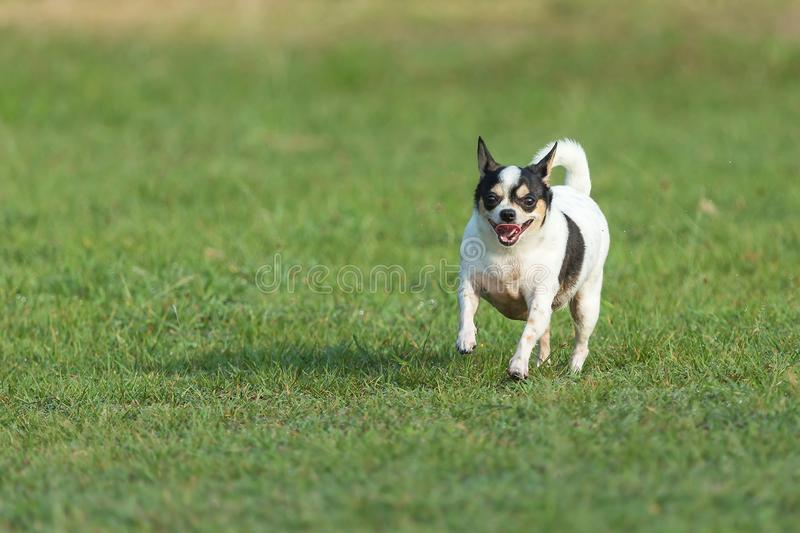 Fun dog,Happy dogs having fun in a field, running on the field.Chihuahua. royalty free stock photos