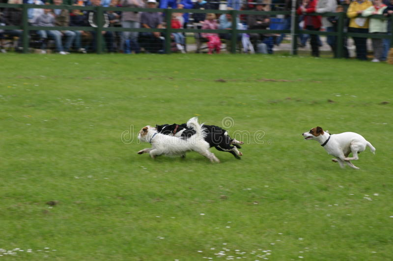 Fun dog racing competition. On a grass field with audience in the background royalty free stock images