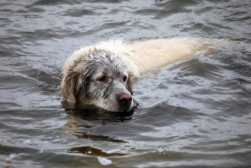 Fun golden retriever dog has been in the mud. And swimming now royalty free stock photos
