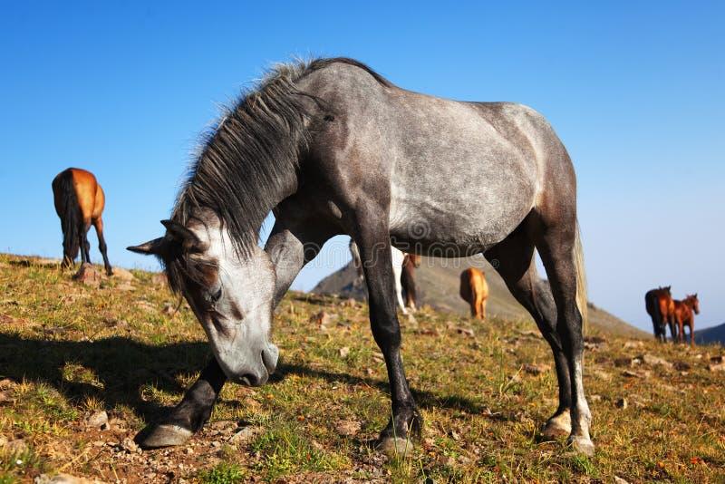 Fun gray horse. A fun gray horse in the mountains royalty free stock photography
