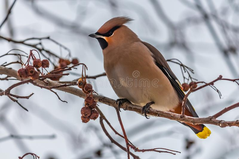 A fun gray and orange Bohemian waxwing Bombycilla garrulus eats a red small apple on a branch of wild apple tree in the royalty free stock photos