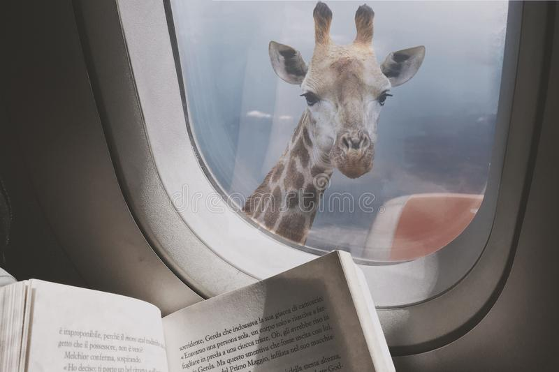 Fun Vacations. Imagination from day one, even on the plane. Giraffe looking at window of an airplane stock photos