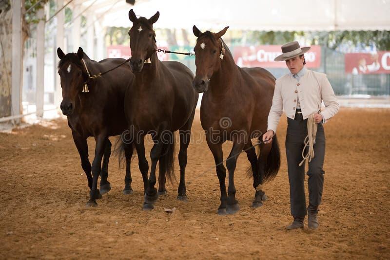 Funcionalidade equestre do teste com os 3 cavalos espanhóis puros, igualmente chamados cobras 3 éguas fotos de stock