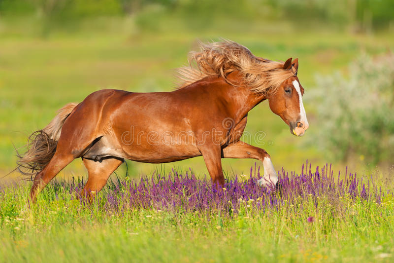 Funcionamento vermelho do cavalo imagens de stock royalty free