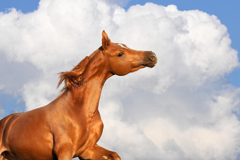 Funcionamentos árabes do garanhão da castanha nas nuvens fotografia de stock royalty free