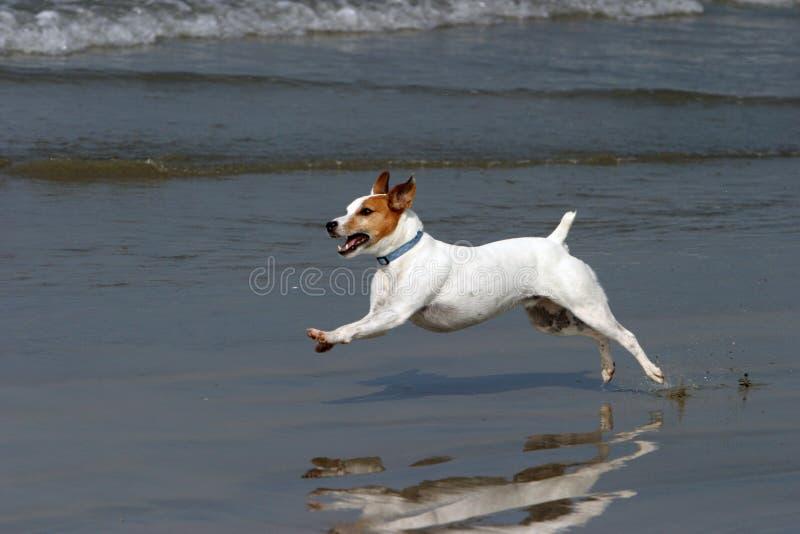 Funcionamentos felizes de um cão na praia fotos de stock royalty free